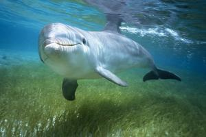 Bottlenosed Dolphin by Craig Tuttle
