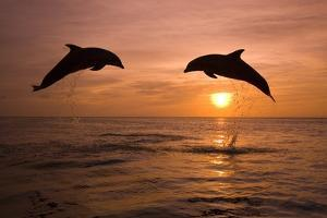 Bottlenosed Dolphins Leaping at Sunset by Craig Tuttle