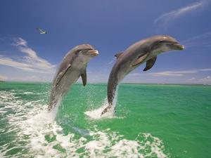 Bottlenosed Dolphins Leaping in Caribbean Sea by Craig Tuttle