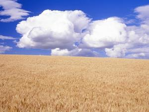 Cumulus Clouds Floating over Wheat Fields by Craig Tuttle