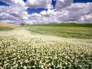 Daisies Covering a Field Under Cloudy Skies by Craig Tuttle