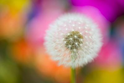 Dandelion Seed Head by Craig Tuttle