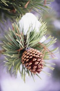 First Snow Clinging to Pine Cone by Craig Tuttle