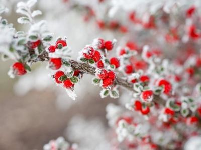 Frost-Covered Berries by Craig Tuttle