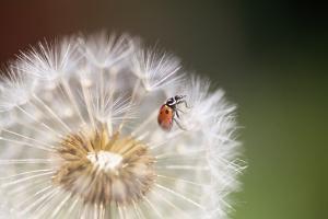Ladybug on Dandelion by Craig Tuttle
