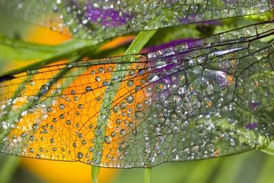 Morning Dew on a Dragonfly Wing