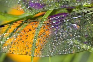 Morning Dew on a Dragonfly Wing by Craig Tuttle
