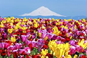 Mt.Hood over Tulips Field, Wooden Shoe Tulip Farm, Woodburn Oregon. Have Property Release. by Craig Tuttle