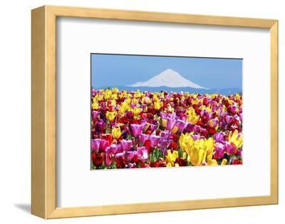 Mt.Hood over Tulips Field, Wooden Shoe Tulip Farm, Woodburn Oregon. Have Property Release.