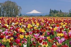 Mt.Hood over Tulips Field, Wooden Shoe Tulip Farm, Woodburn Oregon by Craig Tuttle
