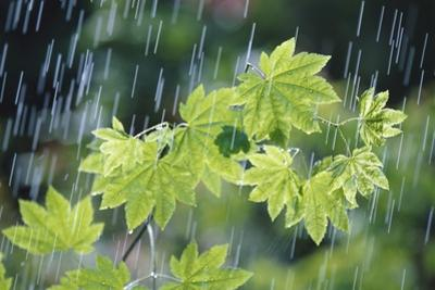 Rain Falling on Vine Maple Leaves by Craig Tuttle