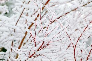 Snow on Tree by Craig Tuttle