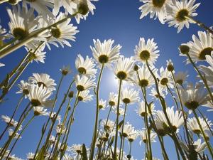 Sun and blue sky through daisies by Craig Tuttle