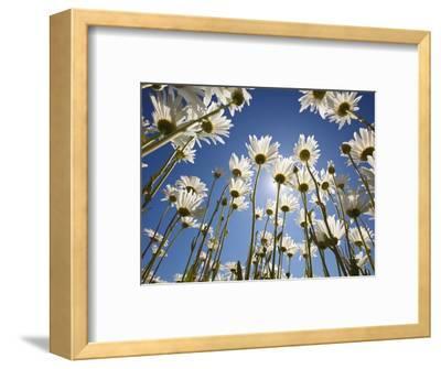 Sun and blue sky through daisies