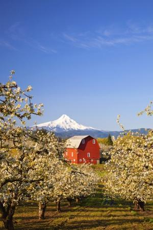 Sunrise Mt.Hood and Old Red Barn, Hood River Valley and Apple Blossoms, Hood River Oregon, Columbia