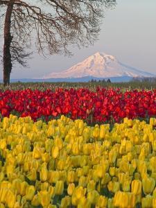 Tulip field and Mount Hood, Woodburn Oregon by Craig Tuttle