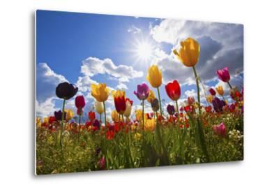Tulip Fields, Wooden Shoe Tulip Farm, Woodburn Oregon, United States