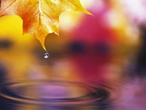 Water Dropping from Maple Leaf by Craig Tuttle