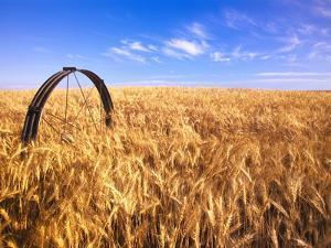 Wheat Crop Growing in Field by Craig Tuttle