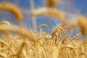 Wheat by Craig Tuttle