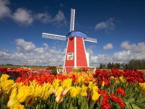 Windmill in Tulip Field by Craig Tuttle
