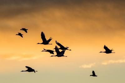 Cranes and Geese Flying, Bosque Del Apache National Wildlife Refuge, New Mexico-Maresa Pryor-Photographic Print