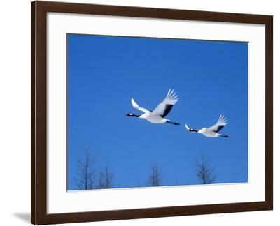 Cranes Flying in the Blue Sky, Hokkaido, Japan--Framed Photographic Print