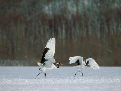 Cranes--Photographic Print