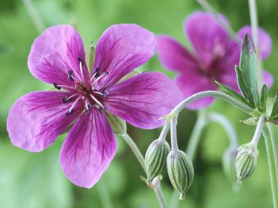 Cranesbill, Close-up of Purple Flowers and Buds-Chris Burrows-Photographic Print