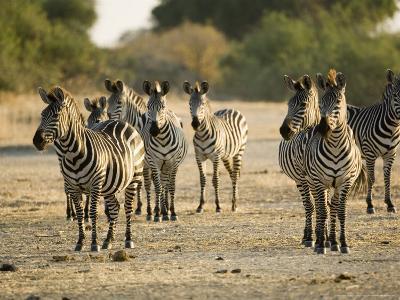 Crawshays Zebra, Small Group in Bush, Tanzania-Mike Powles-Photographic Print