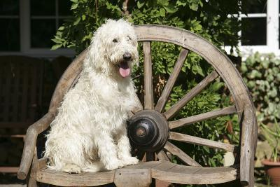 Cream Labradoodle Sitting on Wooden Chair--Photographic Print