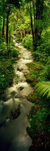 Creek Flowing Through a Rainforest, North of Hilo, Big Island, Hawaii, Usa