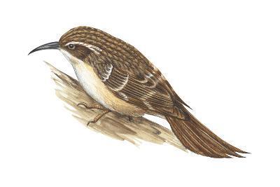 Creeper (Certhia Familiaris), Birds-Encyclopaedia Britannica-Art Print