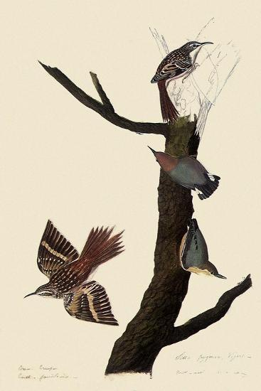 Creepers and Nuthatches-John James Audubon-Giclee Print