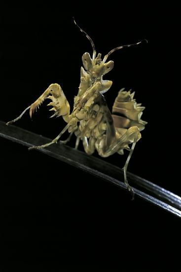 Creobroter Gemmatus (Jeweled Flower Mantis)-Paul Starosta-Photographic Print
