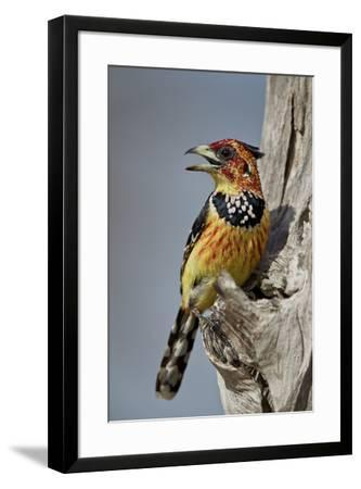 Crested barbet (Trachyphonus vaillantii), Selous Game Reserve, Tanzania, East Africa, Africa-James Hager-Framed Photographic Print