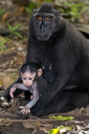 Crested Black Macaque And Baby-Tony Camacho-Photographic Print