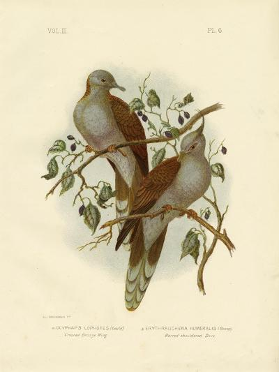 Crested Bronze Wing or Crested Pigeon, 1891-Gracius Broinowski-Giclee Print