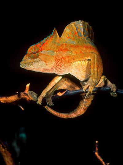 Crested Chameleon, Native to Camerouns-David Northcott-Photographic Print