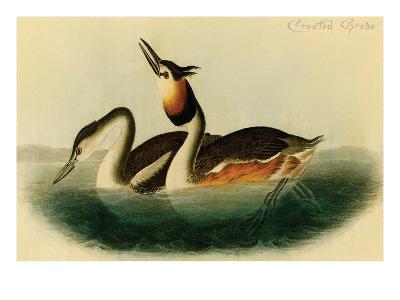 Crested Grebe-John James Audubon-Art Print