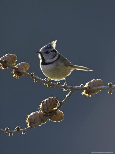 Crested Tit, Adult Backlit, Scotland-Mark Hamblin-Photographic Print