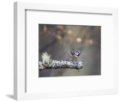 Crested Tit in Scotland with Autum leaves-Sue Demetriou-Framed Photographic Print