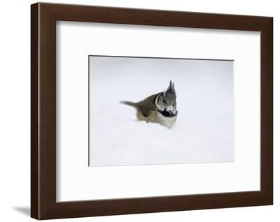 Crested tit in snow, beak covered in snow like snowball-Sue Demetriou-Framed Photographic Print