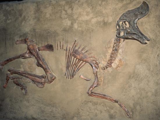 Cretaceous Lambeosaurus Dinosaur Fossil-Kevin Schafer-Photographic Print
