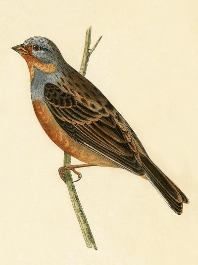 Cretzschmaer's Bunting,  from 'A History of the Birds of Europe Not Observed in the British Isles'-English-Giclee Print