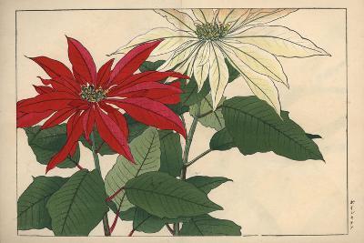 Crimson and White Poinsettia--Giclee Print