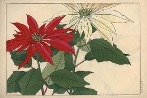 Crimson and White Poinsettia