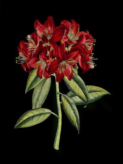 Crimson Flowers on Black II--Art Print