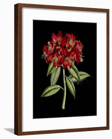 Crimson Flowers on Black II--Framed Art Print