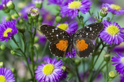 Crimson Patch Butterfly, Cholsyne Janais a New World Butterfly-Darrell Gulin-Photographic Print